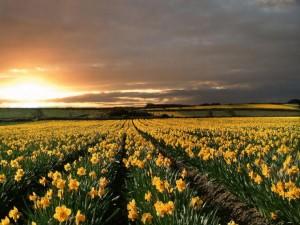 Lindo campo de lírios, uma beleza divina.